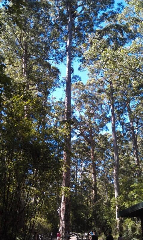 dave-evans-bicennial-tree-climb-pemberton