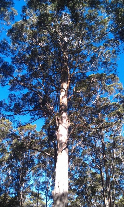 gloucester-tree